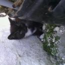 kříženci mainské mývalí,perské a domácí kočky