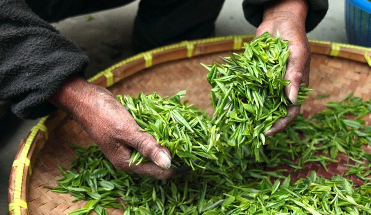 Inspektoři odhalili v zeleném čaji z Číny mix nebezpečných pesticidů