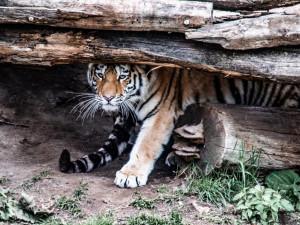 Pokřtěni byli tygříci.