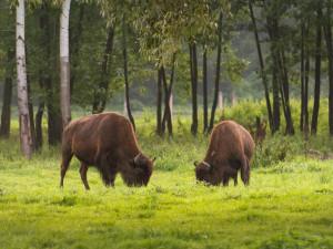 Státní veterinární správa povolila odstřel bizonů na útěku