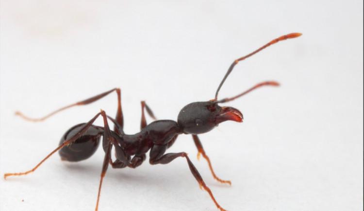 Vědci objevili na ostrově v Tichém oceánu nové druhy mravenců