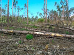 Stromy napadené kůrovcem