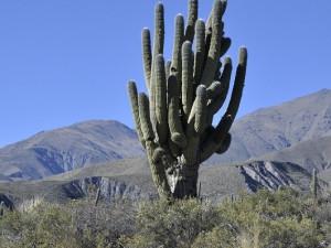 Pan kaktus