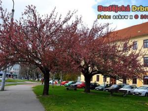 Jaro v Budějcích. Třešně na Mariánském náměstí