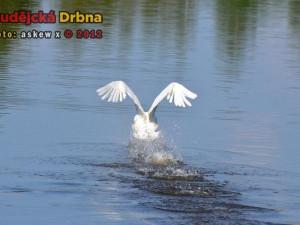Labuť - Vrbenský rybník