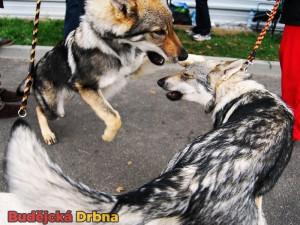 Na mezinárodní výstavě psů