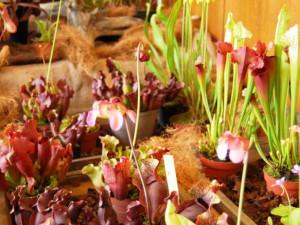 Hned u vstupu zaujmou vaši pozornost masožravé rostliny