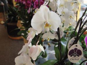 Ke koupi jsou i nové hybridy orchidejí