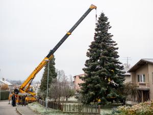 Vánoční stromeček už se chystá z Dobré Vody na budějcké náměstí