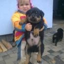 Rotvajler - štěně